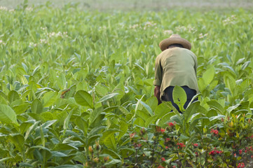 Cuban farmer on the tobacco field