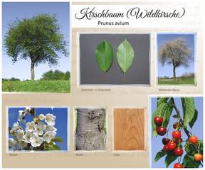 Kirschbaum Wildkirsche