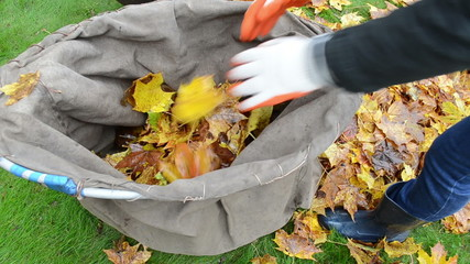 woman hands gloves load tree leaves bag. autumn works garden