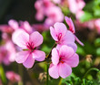 Pink flowering Pelargonium