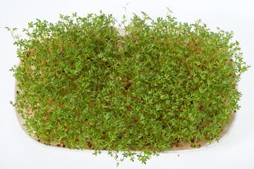 Cress seedlings isolated on white background