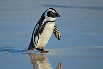 African penguin (Spheniscus demersus) on the beach