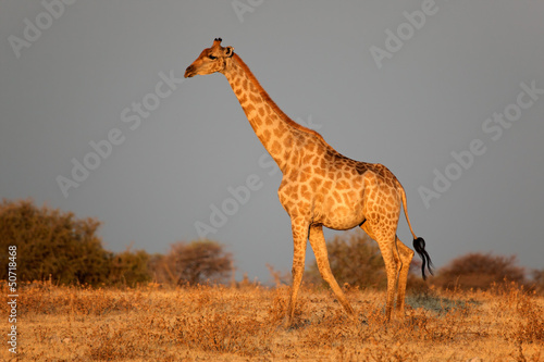 Etosha giraffe in late afternoon light