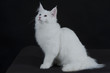 gatto bianco 3