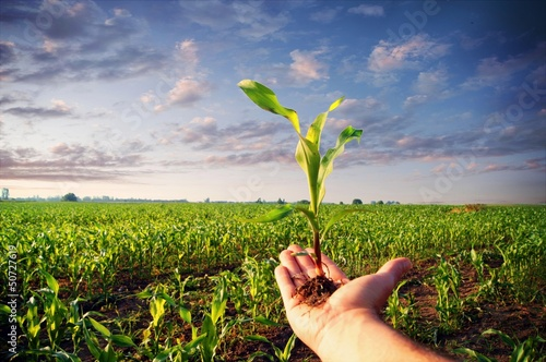 Hand holding a corn plant