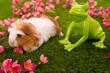 cobaye shelty et grenouille