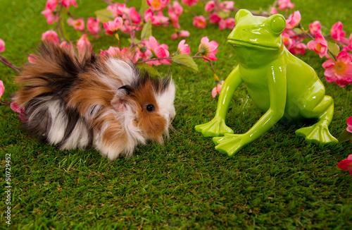 cochon d'inde angora et grenouille