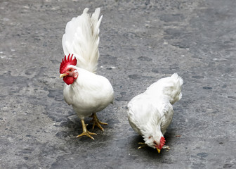 Two white Cocks on the street