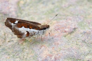 Butterfly(Grass demon,Udaspes folus)