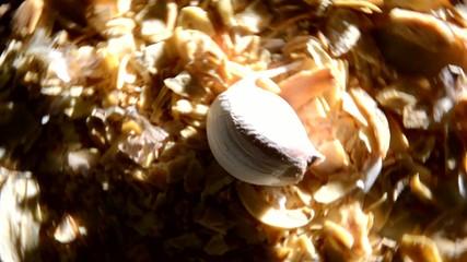 Allium sativum Garlic Aglio 마늘 Ajo