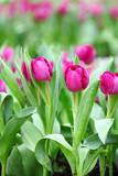 purple tulips flower