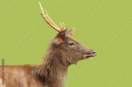 A closeup of Deer with green background , thailand