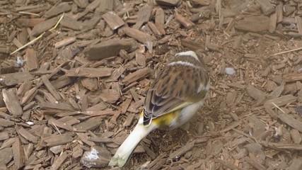 pickender Kanarienvogel