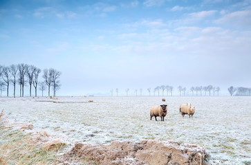 sheep on winter pasture