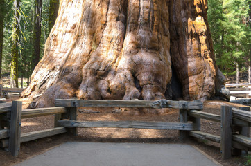 base del sherman tree, sequoia gigante