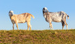 Two Anglo-Nubian goats on a Dutch dike in early morning light.