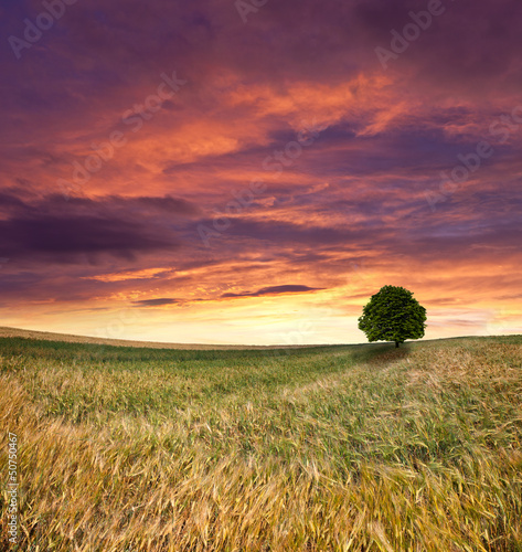 Wheat field at summer. Sunset