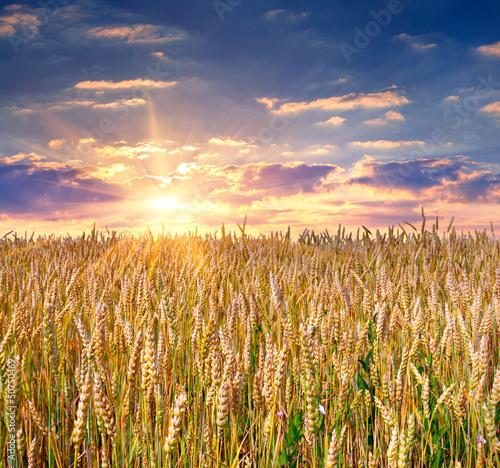 sunrise among a wheat fields at summer