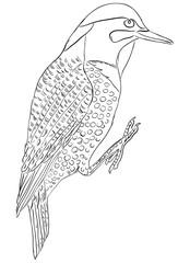 Northern flicker bird