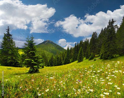 Field of daisies blooming in the mountains in summer