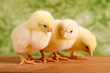 Beautiful little chickens on green background