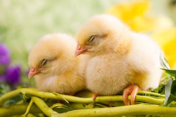 Beautiful little sleeping chickens