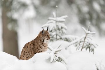 Eurasischer Luchs, Eurasian lynx, Lynx lynx