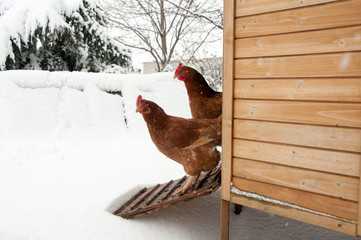 Two hens starring at the snow