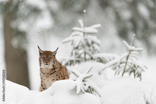Fotobehang Lynx Eurasischer Luchs, Eurasian lynx, Lynx lynx