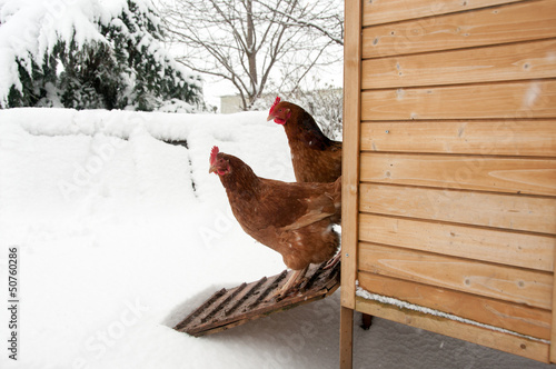 Tuinposter Kip Two hens starring at the snow