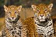 Fototapeten,jaguar,wildlife,leopard,pelz