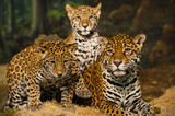 Jaguar Family