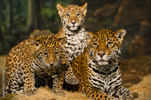 Foto op Canvas Luipaard Jaguar Family