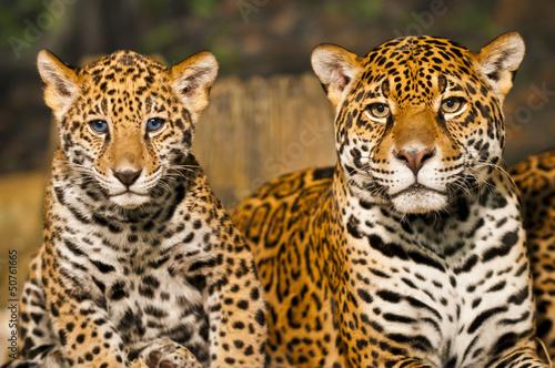 Foto op Canvas Luipaard Jaguar Family