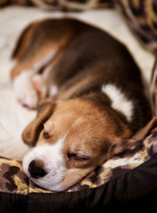 Sweet sleeping beagle puppy