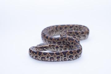 isolated burmese python (molurus bivittatus)