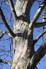 The bole of sycamore tree
