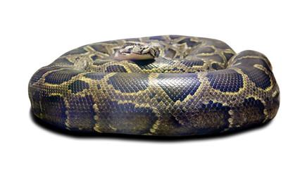 Python molurus. Isolated over white