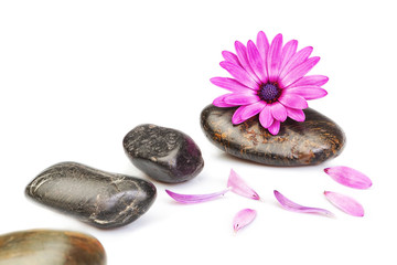 Stones for massage and flower osteospermum on a white background