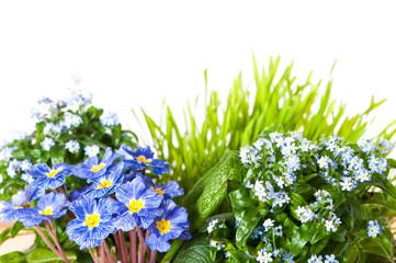 Vergissmeinnicht im Blumentopf