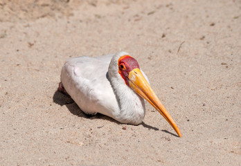 Close up of a Yellow Billed Stork resting