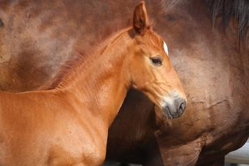Beautiful chestnut foal portrait in summer