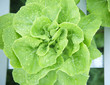 fresh and clean hydroponic vegetable