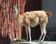 Guanaco eating green leaves