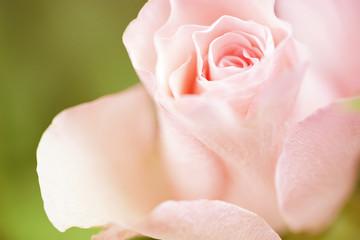 Flowers art closeup. Pink rose. Floral background