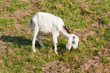 Young whiter Nubian goat grazing