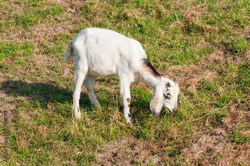 Young whiter Nubian goat grazing