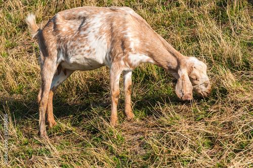 Grazing Nubian goat