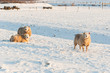 Sheep in the snow