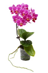 Pink Orchid in Flower Pot Isolated